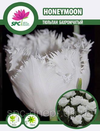 Тюльпан Honeymoon, фото 2