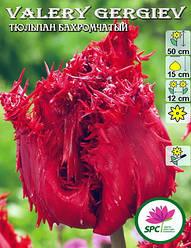 Тюльпан бахромчатый Vallery Georgiev