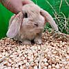 """Карликовый вислоухий  кролик,порода,,Вислоухий баранчик"""",окрас """"Крем"""",возраст 1,5мес.,мальчик, фото 4"""