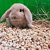 """Карликовый вислоухий  кролик,порода,,Вислоухий баранчик"""",окрас """"Крем"""",возраст 1,5мес.,мальчик, фото 3"""