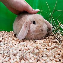 """Карликовый вислоухий  кролик,порода,,Вислоухий баранчик"""",окрас """"Крем"""",возраст 1,5мес.,мальчик, фото 2"""