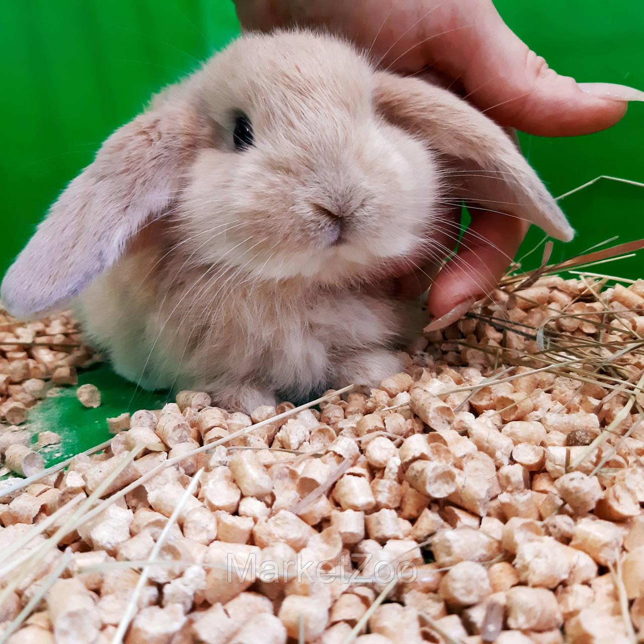 """Карликовый вислоухий  кролик,порода,,Вислоухий баранчик"""",окрас """"Крем"""",возраст 1,5мес.,мальчик"""