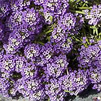 Алиссум, лобулярия, Фиолетовый король 5г