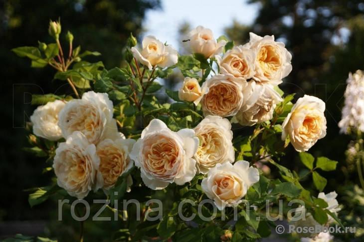 """Саджанці троянди """"Крокус роуз"""""""