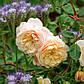 """Саджанці троянди """"Крокус роуз"""", фото 7"""