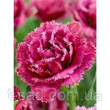 Тюльпан махрово-оторочений QUATAR (Катар) 12+