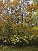 Саженцы дуба красного, граба, клена, липы, черёмухи, берёзы, калины, рябины ели, сосны