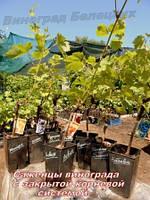 Саженцы винограда с ЗАКРЫТОЙ корневой системой. Как сажать?