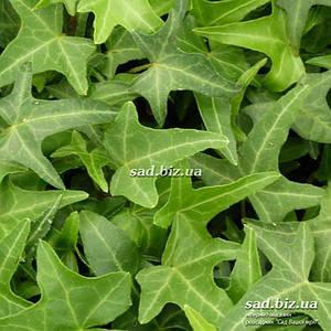 Плющ обыкновенный 'Sagittifolia'. Контейнер 2 л