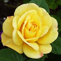 Саженцы роз сорт Arthur Bell (Артур Белл)