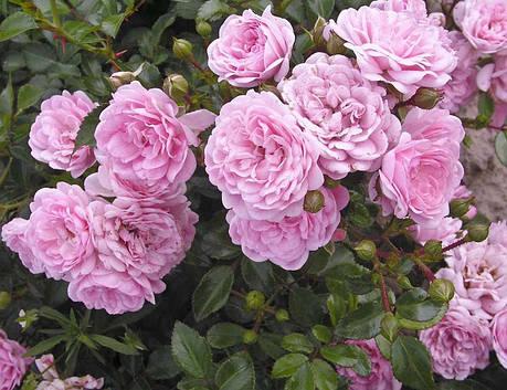 Саженцы роз Fairy (Фейри), фото 2