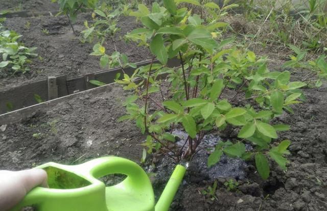 Организация полива жимолости в саду