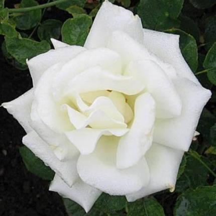Саженцы роз сорт Паскали (Pascali), фото 2