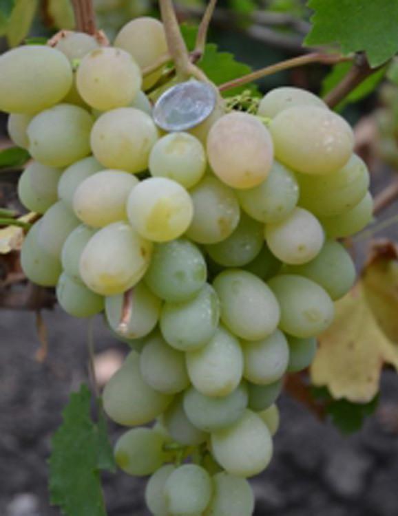 Саженцы винограда сорт Ванюша