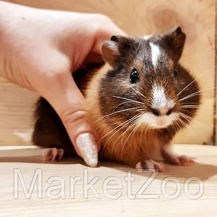 Морская свинка,мальчик,возраст 1,5мес., фото 2