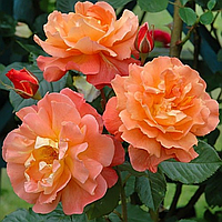 "Саженцы роз ""Вестерленд"", фото 1"