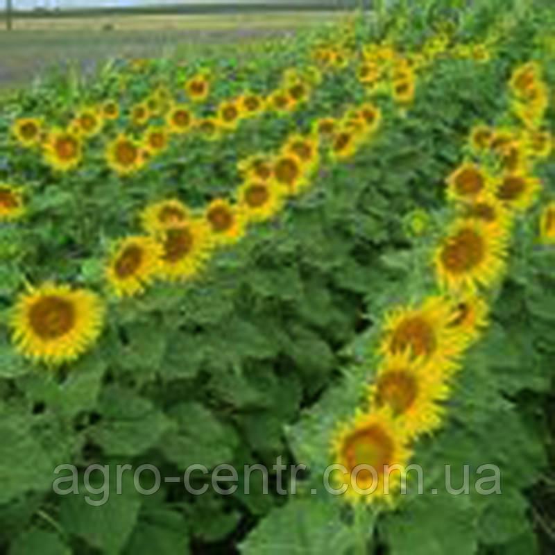 Семена подсолнуха Пионер ПР64А15 (PR64A15)