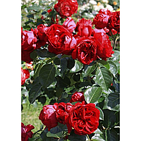 "Саженцы розы Парковой ""Ред Эден"""