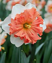 Нарцис Shrike (Шрайк)