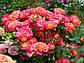 Роза Мидсаммер, фото 3