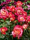 Роза Мидсаммер, фото 4