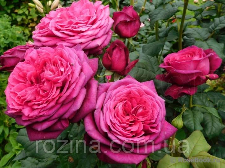 """Саджанці троянди """"Гете"""""""