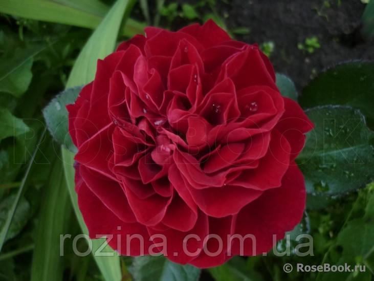 Роза  Фарука
