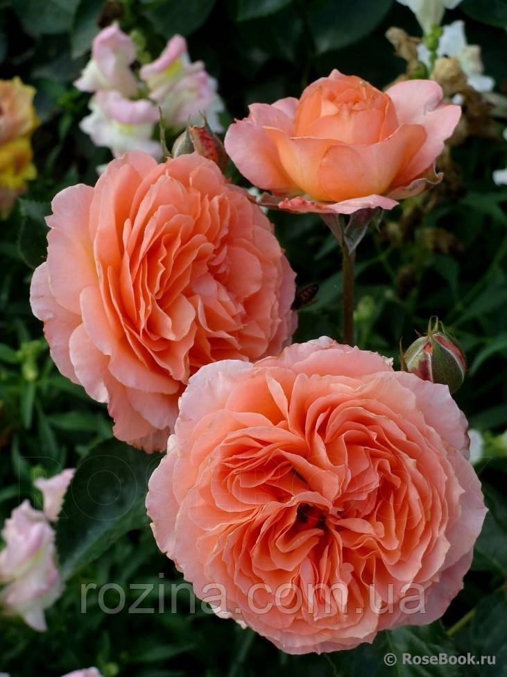 "Саженцы розы ""Бельведер"""