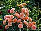 """Саджанці троянди """"Бельведер"""", фото 3"""