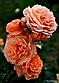 """Саджанці троянди """"Бельведер"""", фото 5"""