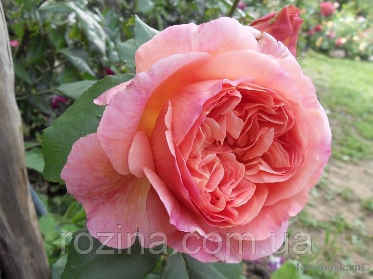 Роза Папі Дельбар