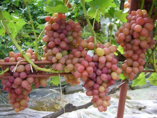 Саженцы винограда сорт Румба