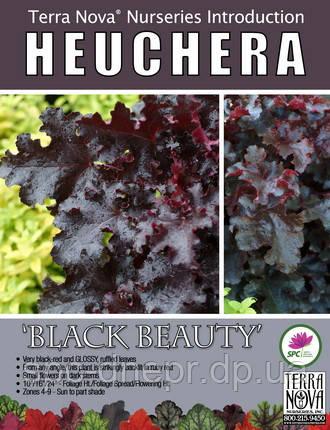 Гейхера Black Beauty, фото 2