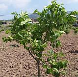 Саженцы грецкого ореха сорт Fernor, фото 2