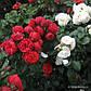 Роза Пиано, фото 2