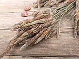 Сухоцвіт суцвіття подорожнику, Plantago 50 шт. в букеті, 30 грн., фото 2