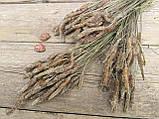 Сухоцвіт суцвіття подорожнику, Plantago 50 шт. в букеті, 30 грн., фото 3
