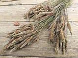 Сухоцвіт суцвіття подорожнику, Plantago 50 шт. в букеті, 30 грн., фото 5