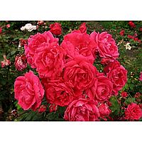 № 34. Саженцы роз 'Джон Франклин'