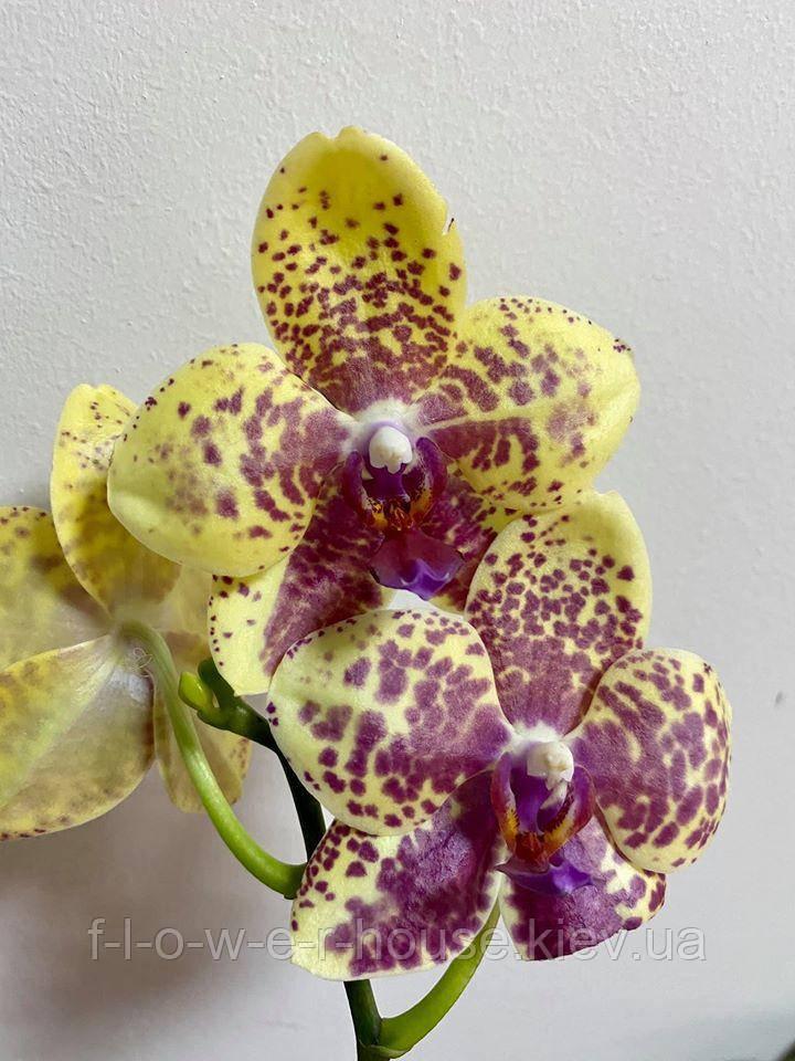 Орхидея P. Dou dii Pride x P. SALU PEOKER