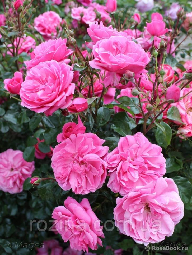 "Саджанці троянди ""Берлебург"""