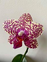 Орхидея P. Miro Buddha x P. Salu Peoker