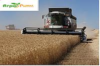 Семена озимой пшеницы Мудрость Одесская семена (1 репродукция)