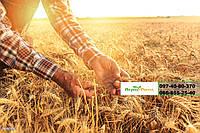 Семена озимой пшеницы  Шестопаловка (Элита), насіння озимої пшениці