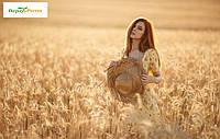 Семена озимой пшеницы Шестопаловка, (1-я репродукция)
