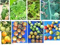 В мире распространяется новый опасный вирус томата