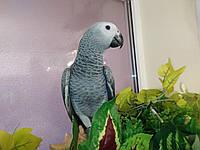 Умный говорящий попугай Жако. Алохвостый Жако.