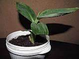 Банан Карликовый Кавендиш (Dwarf Cavendish), фото 6