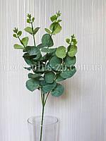 Ветка эвкалипта зеленая