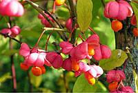 Бересклет европейский, ягоды сушеные (Euonymus europaeus)